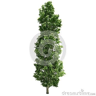 Free Poplar Tree Isolated Stock Photos - 34045063