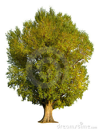 Poplar tree isolation