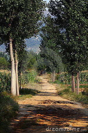 Poplar tree lined path