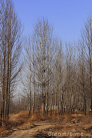 Poplar trees in winter