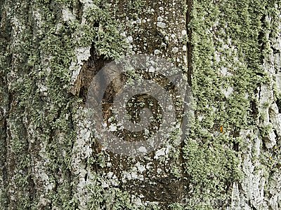 Poplar trunk covered with lichen