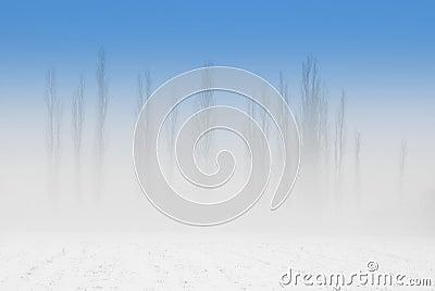 Poplars in fog