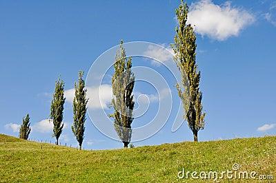 Poplars in a grassland, New Zealand