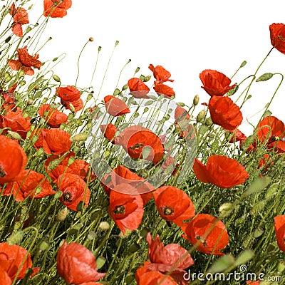 Free Poppies Royalty Free Stock Photo - 2467845