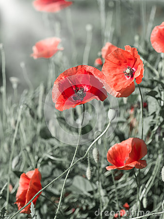Free Poppies Stock Photography - 41340002