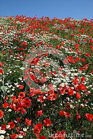 Free Poppies Stock Photos - 996093