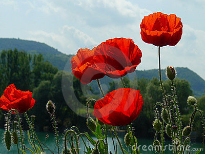 Poppies above hills at Danube river, Hungary