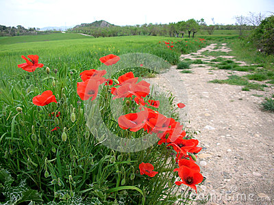 Poppies along farm road