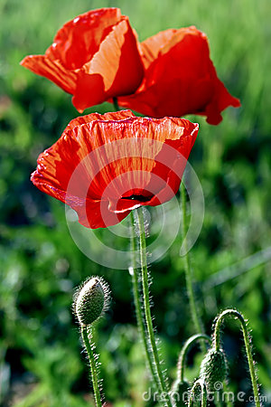 Flowers of poppies-1
