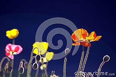 Poppies on Blue BG