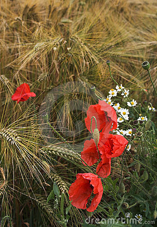 Poppies and diasies on the rye field