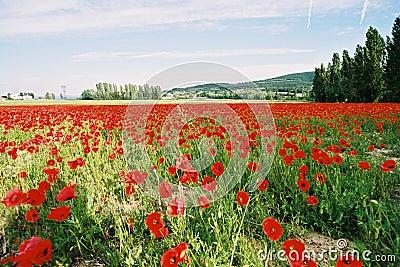 Poppies field 3