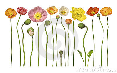 Poppies Floral Flower Flowers Banner