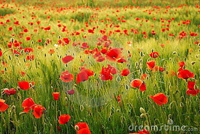 Poppies flowers