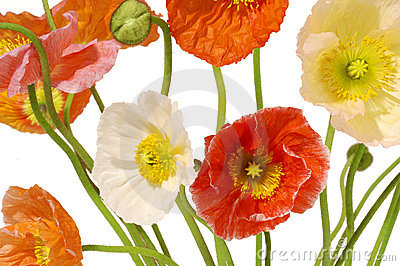 Poppies Flowers Floral