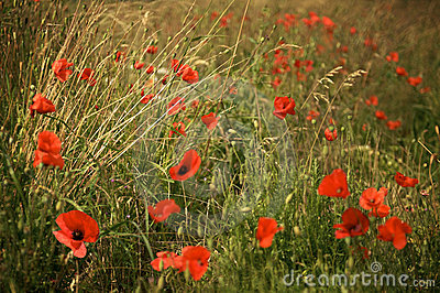 Poppies in a meadow at dusk