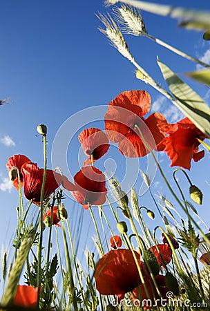 Poppies - papaver rhoeas
