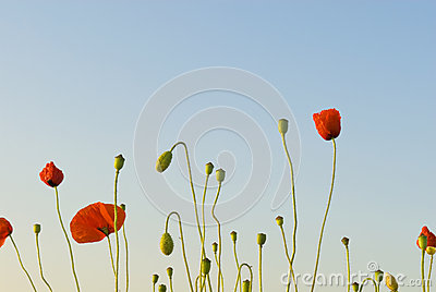 Poppies reaching for the sky in early morning.