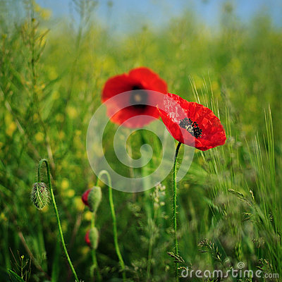 Poppies stock photo image 44421248 for Flowers that represent love