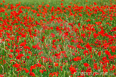Poppies in rye