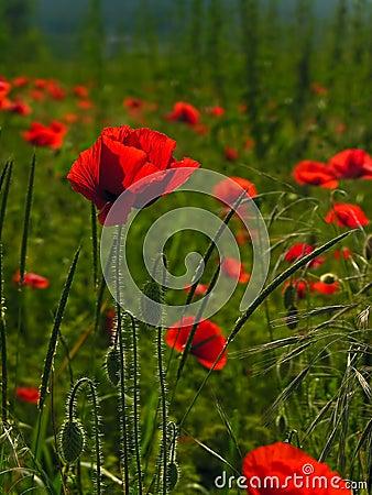 Free Poppies. Shallow Dof. Stock Photo - 13875310