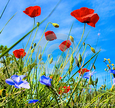 Poppies spring flowers with blue sky background