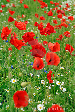 Poppies in summer field