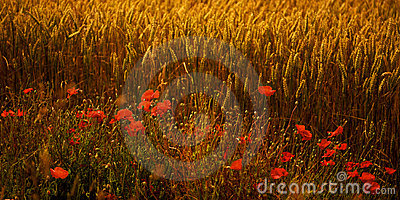 Poppies in a wheat field at dusk