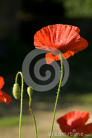 Free Poppies, With Dew Royalty Free Stock Photography - 37550307