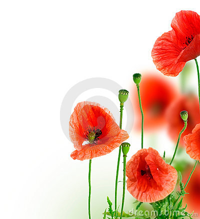 Free Poppy Stock Images - 11635304