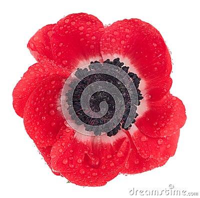 Free Poppy Royalty Free Stock Photography - 1167707