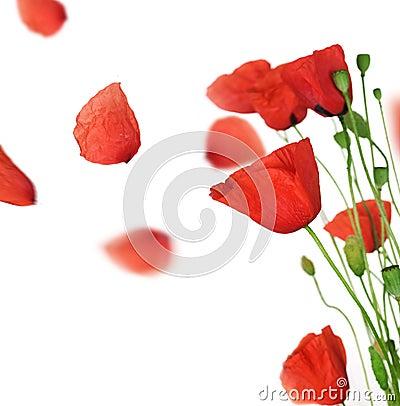 Free Poppy Royalty Free Stock Photography - 14859317