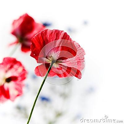 Free Poppy Stock Photos - 15948973