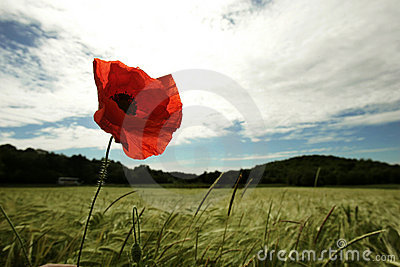 Poppy Stock Images - Image: 2384024