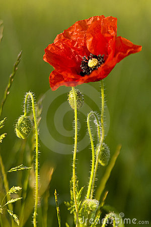 Free Poppy Royalty Free Stock Photography - 4886877
