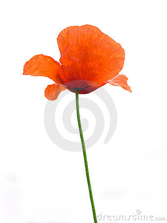 Free Poppy Royalty Free Stock Images - 5516829