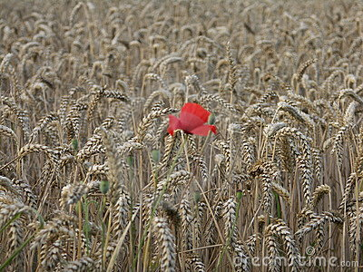 Poppy alone in the wheat