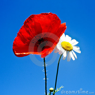 Free Poppy And Daisy Stock Photography - 5695122