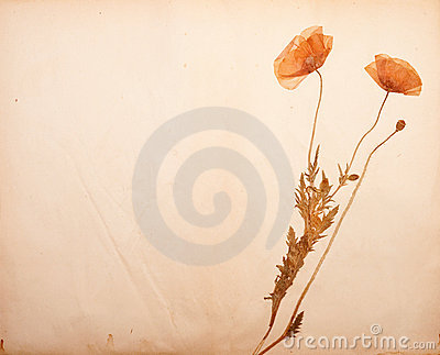 Poppy blossoms on paper