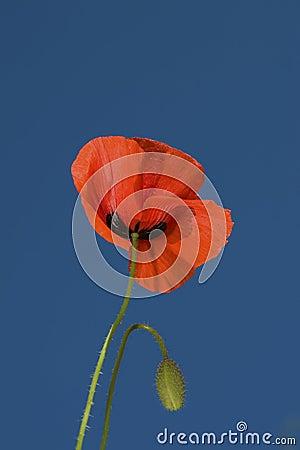 Poppy on a blue sky