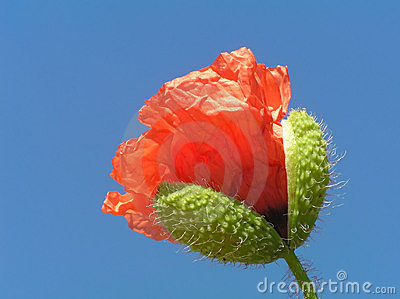 Poppy bud with stalk
