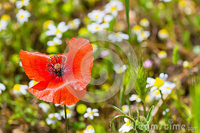 Poppy and daisies