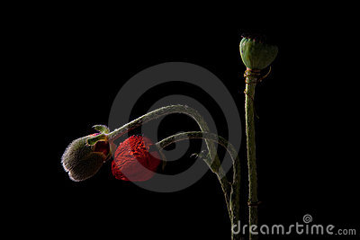 Poppy with dew