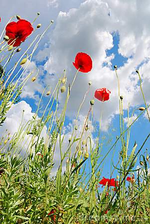Poppy Field Royalty Free Stock Photography - Image: 15321687