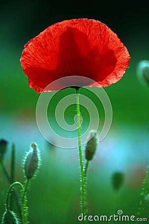 Free Poppy Field Stock Photography - 1763382