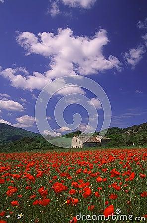 Free Poppy Field Royalty Free Stock Image - 2612326