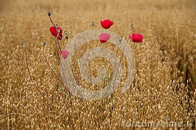Poppy in field