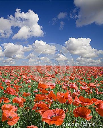 Free Poppy Field Royalty Free Stock Photo - 4093935