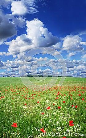 Free Poppy Field Royalty Free Stock Photo - 4590925