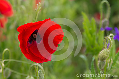 Poppy field durring spring